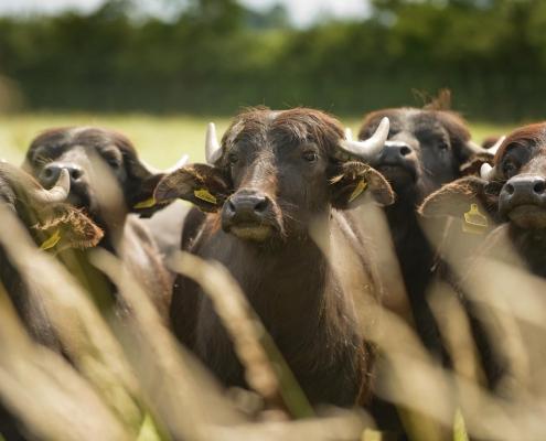 West County Water Buffalo